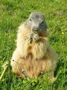 Une marmotte se régale non loin du restaurant aux saisies le chalet des marmottes